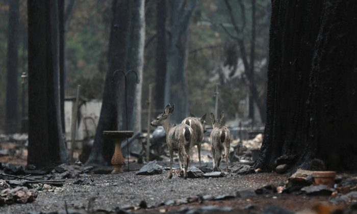 Deer are seen on a property damaged by the Camp Fire in Paradise, Calif., U.S. Nov. 21, 2018. (Elijah Nouvelage/Reuters)