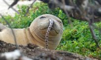Hawaiian Monk Seals Face New Threat: Getting Eels Stuck Up Their Noses