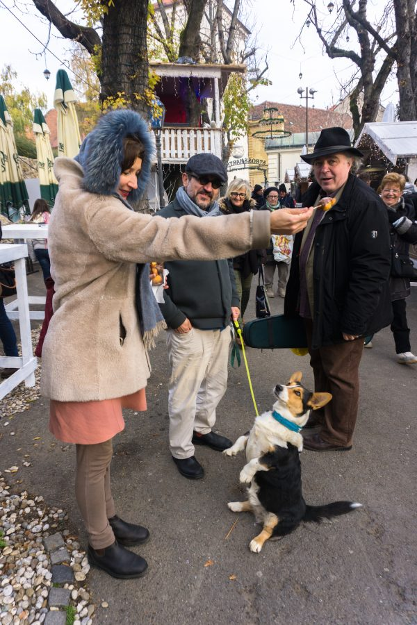 Corgi begs for fritule at Advent in Zagreb