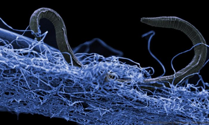 A nematode (eukaryote) in a biofilm of micro-organisms. This unidentified nematode from Kopanang gold mine in South Africa lives almost a mile below the surface. (Gaetan Borgonie/Extreme Life Isyensya, Belgium)