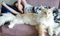 Giant Maine coon cat puts a spell on the internet with his photogenic fluff