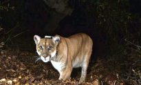 Wisconsin Men Plead Guilty to Charges Linked to Killing of Mountain Lion