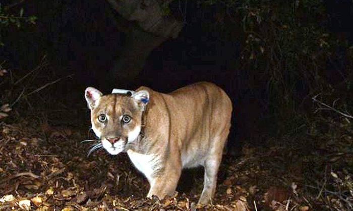 A mountain lion in Calif. in a Nov. 2014 file photo. (National Park Service/File Photo via AP)
