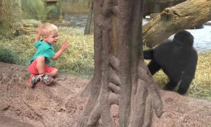 Baby gorilla plays peek-a-boo with toddler at Ohio zoo