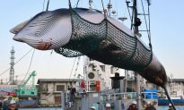 Japan Whalers Discuss Plan to Resume Commercial Hunt on July 1