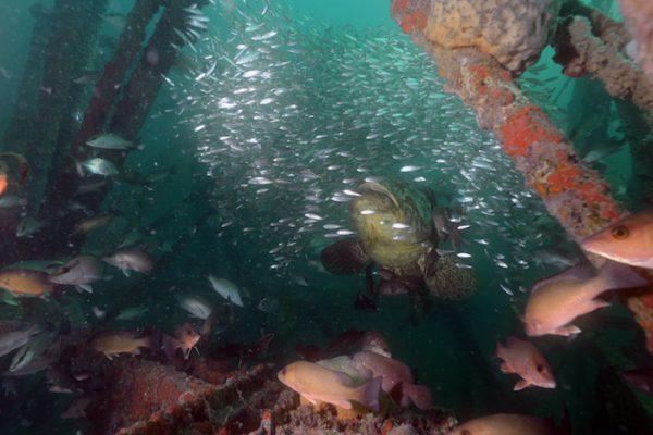 Goliath Grouper swimming near artificial reef