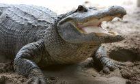 Massive 12-Foot 500-Pound Alligator Captured Alive in Florida