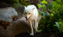 6 Yellowstone Park Wolves Killed by Humans, According to Report