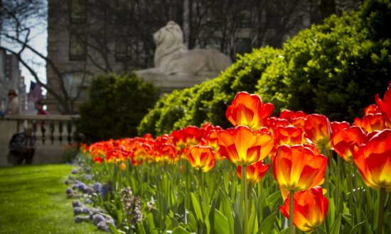 Tulips outside the New York Public Library in the spring. (Courtesy of Maureen Hackett)