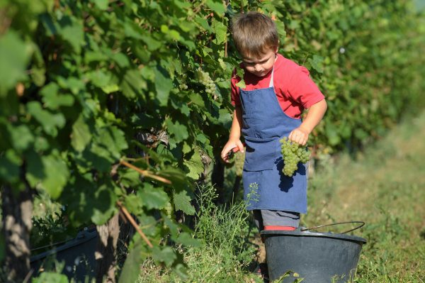 A child collects grapes