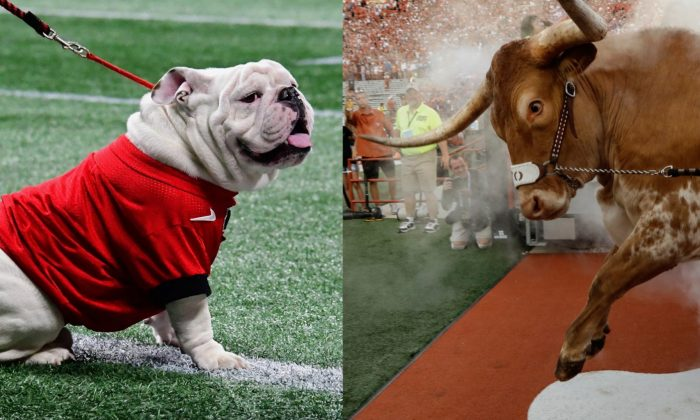Georgia mascot Uga (L) during the SEC Championship Game in Atlanta, Ga., on Dec. 1, 2018. (Scott Cunningham/Getty Images) and Texas Longhorns mascot Bevo at Darrell K Royal-Texas Memorial Stadium in Austin, Texas, on Sept. 8, 2018. (Tim Warner/Getty Images)