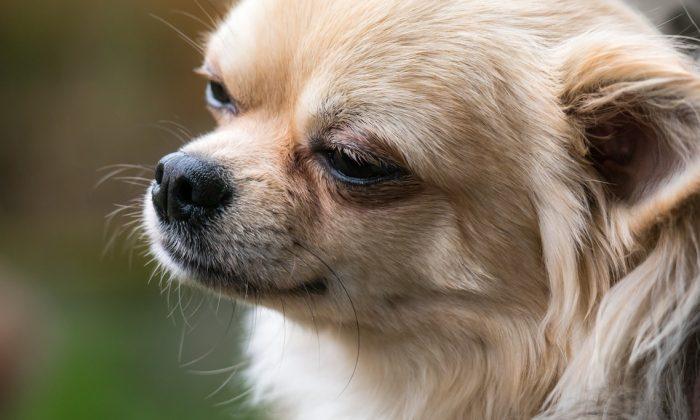 Chihuahua dog. (Thomas B/Pixabay)