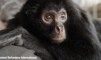 Circus Monkey was Chained Up for Eight Years, Now He Knows Friendship and Freedom