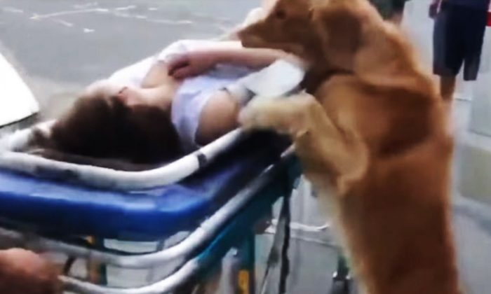 Loyal Golden Retriever Insists To Follow Owner After Paramedics Wheel Her Away