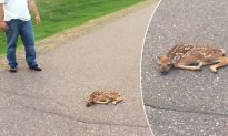 Man Rescues Fawn Mysteriously Lying On The Road While Its Mother Looks On