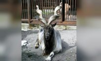 Texas Trophy Hunter Pays $110,000, Highest Ever Price to Shoot Rare Screw-Horned Goat