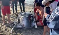 Good Samaritans Rescue 12-Foot, Blind Pygmy Sperm Whale on Zuma Beach