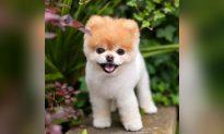 'World's Cutest Dog' Boo Dies Aged 12 From Broken Heart