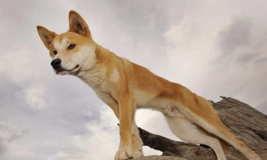 Urgent Review Into Fraser Island Dingoes Called After Toddler Dragged From Camp