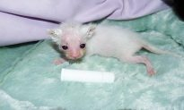 Kitten Found Nearly Dead Makes Amazing Transformation Thanks to Foster Mom