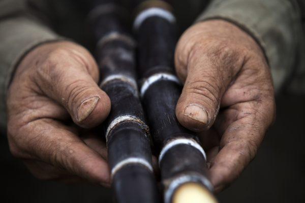 Man holds dark purple stalks of heirloom sugarcane in hands