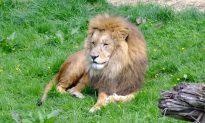 Czech Man Mauled to Death by Lion He Illegally Kept in His Backyard