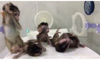 Baby Monkeys Cloned, Given Genetic Disorders