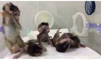 Baby Monkeys Cloned, Given Genetic Disorders