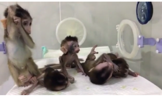 Five cloned macaque monkeys with genetic sleep disorders, created by Chinese scientists. (Science China Press)