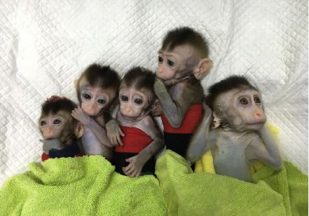 Five gene edited monkeys