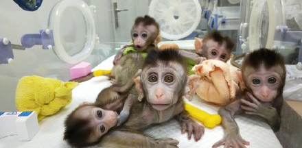 Five gene edited monkeys.