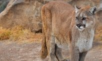 Photos: Man Stunned After Finding Huge Mountain Lion in Unlikely Place
