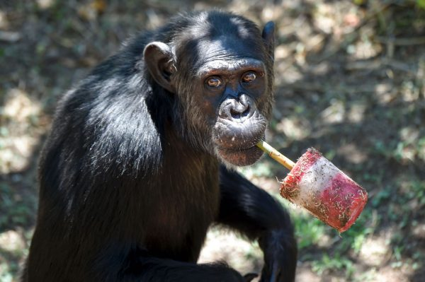 a chimp eats a treat