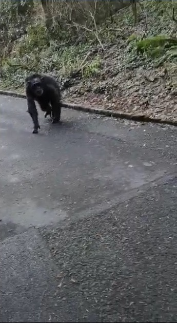 chimp roams freely in Belfast zoo