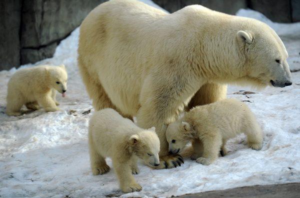 mother polar bear plays with cubs