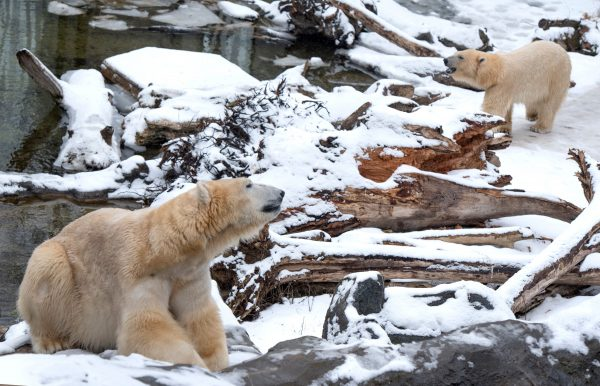 polar bears in zoo enclosure