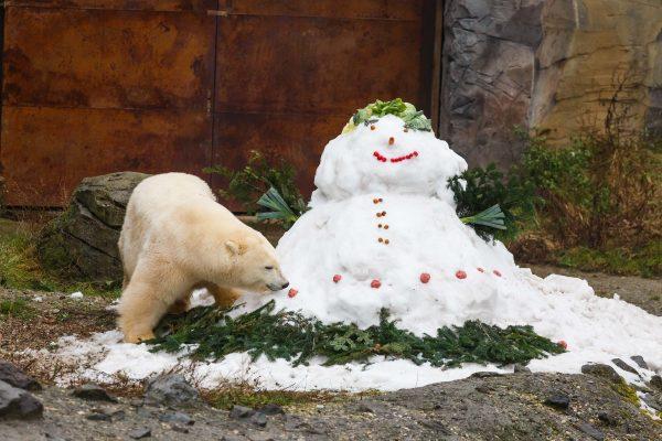 polar bear inspects a snowman