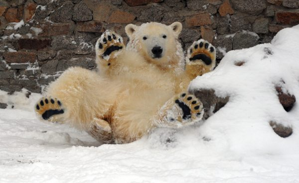young polar bear holding up paws