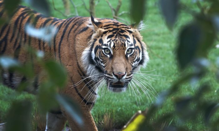 Sumatran tiger Melati looks on in her enclosure during the opening of London Zoo's new Tiger Territory, a project to house Sumatran tigers at ZSL London Zoo, in London, on March 20, 2013. (Tim P. Whitby/Getty Images)