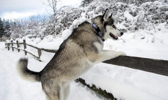 A Husky props herself on a fence to greet her approaching owner at Sehmel Homestead Park in Gig Harbor on Monday, Feb. 11, 2019, during a break in a snowstorm that continues to blanket the Northwest. (AP photo/ The News Tribune, Drew Perine)