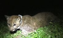 Mountain Lion Shot Dead by Landowners After Killing Sheep