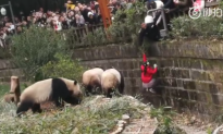 8-Year-Old Girl Falls Into Panda Enclosure in China