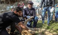 Pictured: Lion Gets Claws Removed So Visitors Can 'Play' With Her