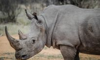 'Stroop' Documentary Exposes Rhino Poaching Crisis in South Africa