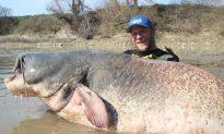 Fisherman Hauls in Massive, 9-Ft-Long Catfish, Setting New Record