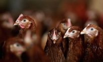 CDC: 63 More People Sickened in Turkey Salmonella Outbreak