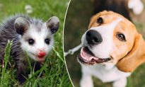 Beagle 'Adopts' Abandoned Baby Possum After Losing Her Pups at Birth