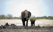 Elephant Kills British Soldier During Anti-Poaching Operations