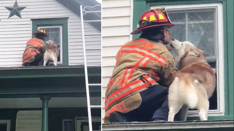 Naughty Husky Thanks Fireman in the Most Adorable Way After He Rescues It From Rooftop