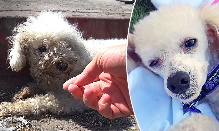 Little Dog Was Hit by Car and Left in a Gutter–but Watch Her Amazing Transformation After Rescue